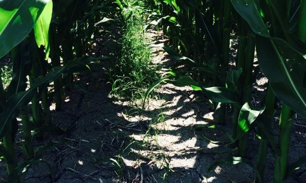 Essai d'Implantation en culture intercalaire dans le maïs-grain